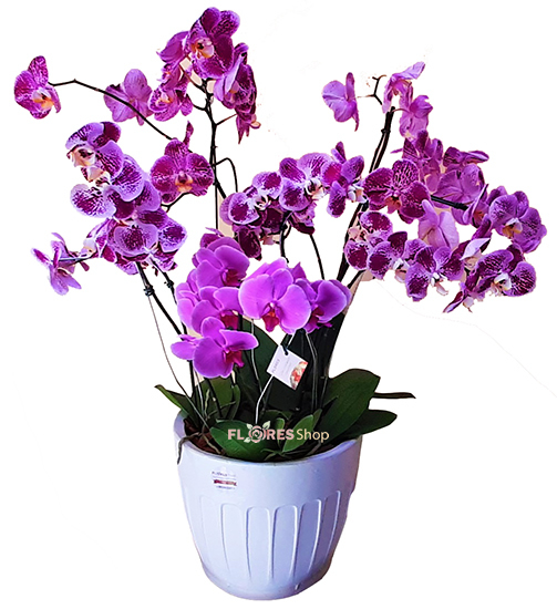 4147 Lilac Orchid